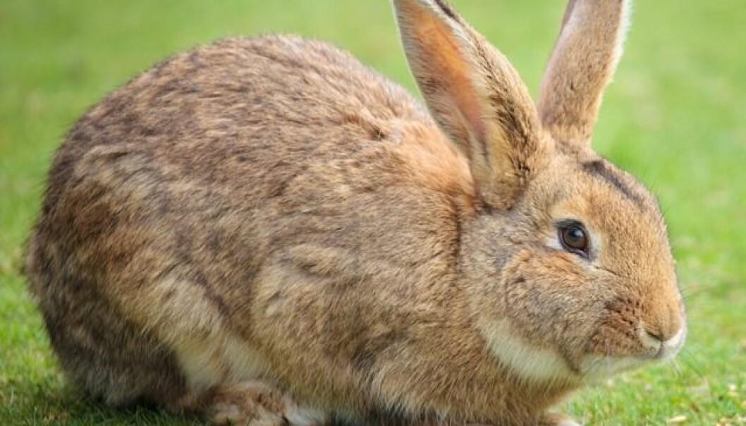 Hvordan kunne villkaninen temmes? Nå har forskere undersøkt genene hos villkaniner og tamme kaniner. Forskjellen mellom ville og tamme kaniner er ikke hvilke gener de bærer, men hvordan de reguleres. Foto: Colourbox)