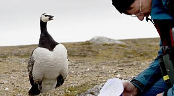 Hvordan påvirker klimaendringer gjess på Svalbard?
