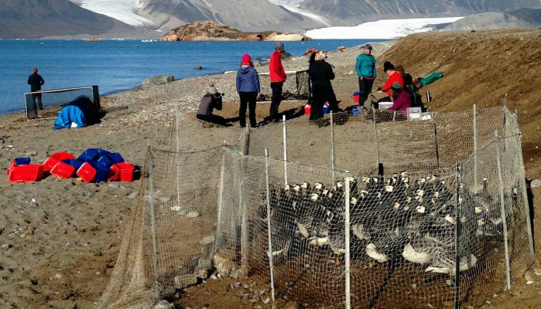 Forskerteamet har analysert data fra 3487 gjess. Dataene er samlet inn siden 1990 ved Ny-Ålesund på Svalbard. (Foto: Christiane Huber)