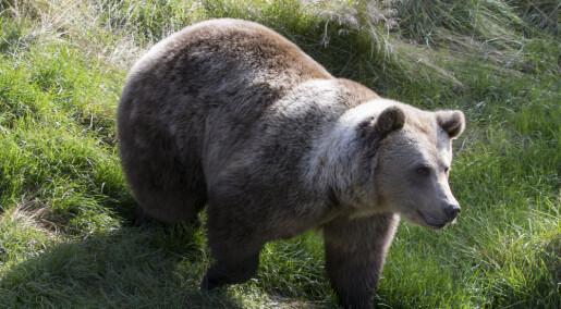 Rovdata ber jegere og turfolk om å samle bjørnebæsj