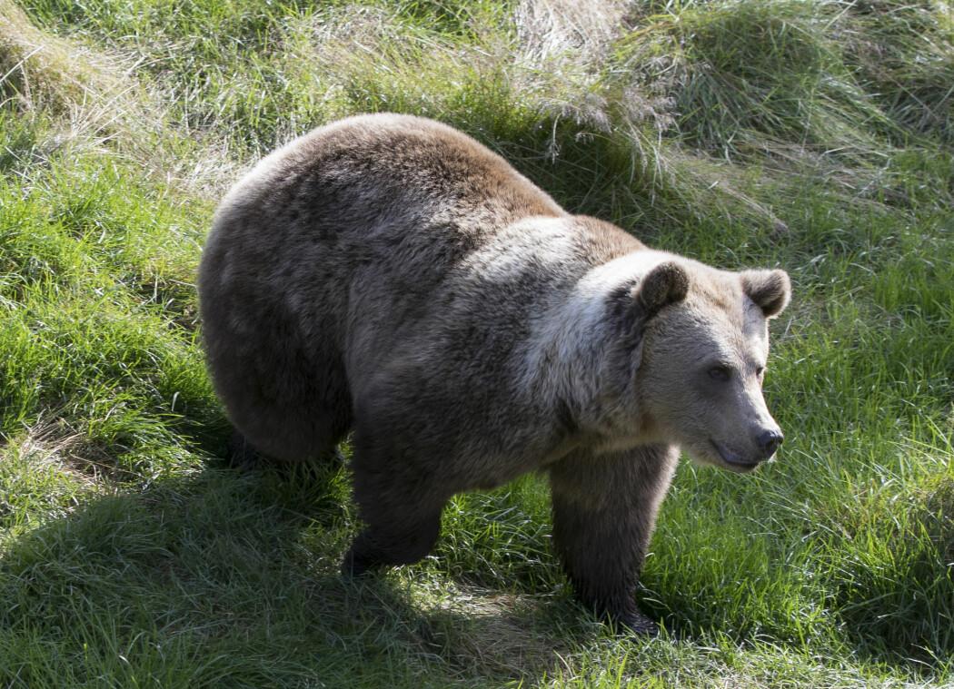 En brunbjørn i Namsskogan familiepark i Trøndelag. (Arkivfoto: Berit Roald / NTB scanpix)
