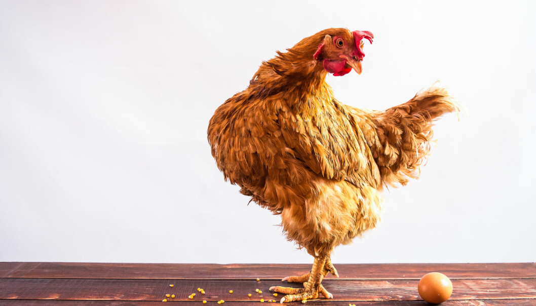 Ved Veterinærhøgskolen NMBU skal en av stipendiatene forske på effekten av kompleksitet i miljøet når det kommer til hønenes stressfølsomhet, helse og kognitive evner. (Illustrasjon: Yuliia Myroniuk / Shutterstock / NTB scanpix)