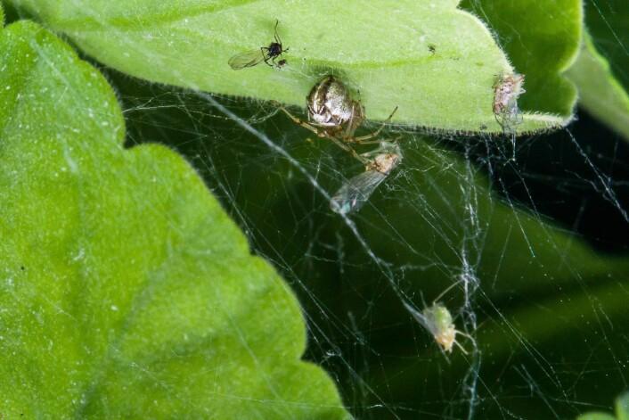 Edderkopp som sitter under blad og spiser bladlus. (Foto: Erling Fløistad)