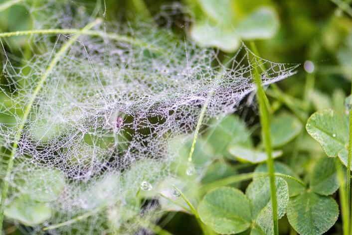 Edderkoppnett i plenen, fullt av doggdråper. (Foto: Erling Fløistad)