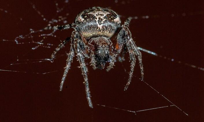 Mange synes edderkopper er ekle. (Foto: Erling Fløistad)