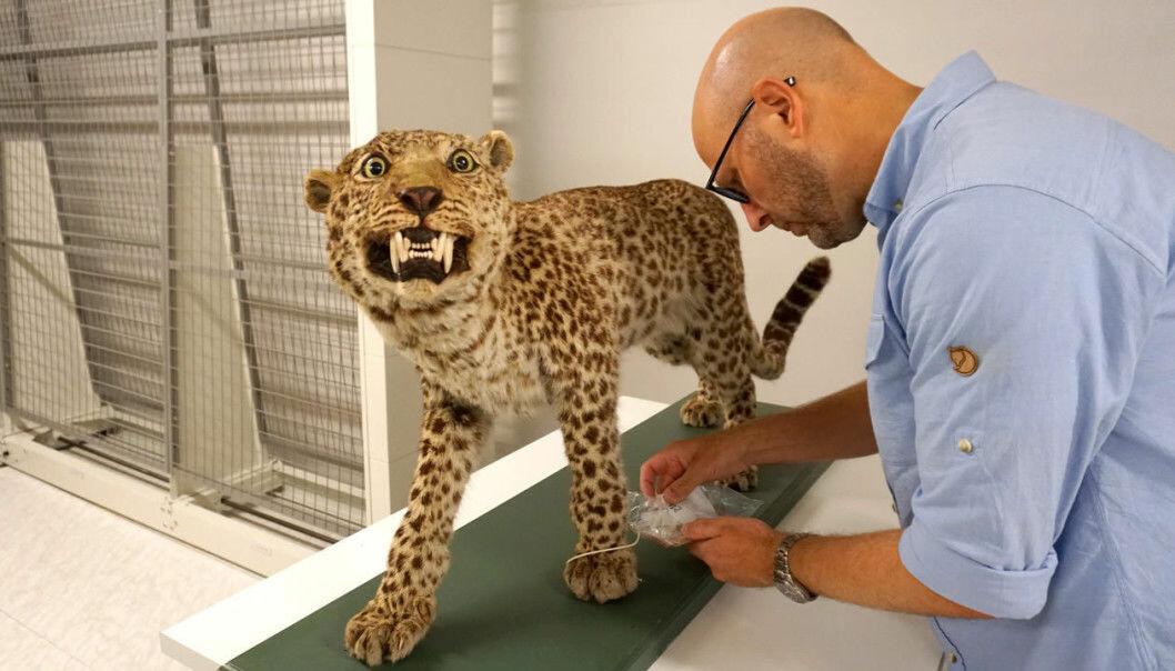 Zoolog Terje Lislevand og en gammel leopard. (Foto: Torill Sommerfelt Ervik / UiB)