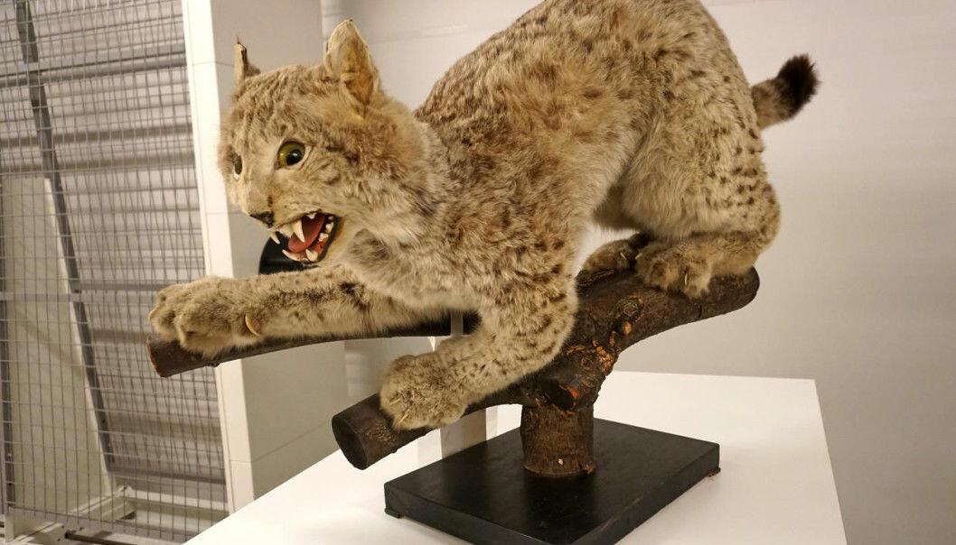 På 1800-tallet skulle utstoppede rovdyr vise fram tennene. (Foto: Torill Sommerfelt Ervik / UiB)