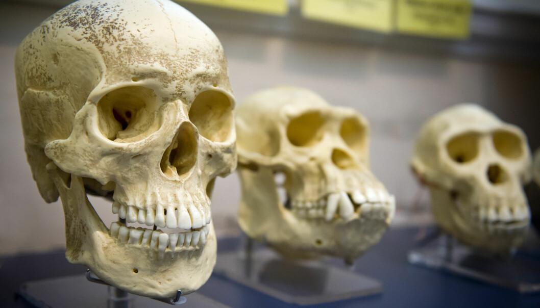 Menneskehjernens volum er blitt tredoblet de siste to millioner årene. Men i det siste har den blitt mindre. Hva skjer i fremtiden? (Foto: JuliusKielaitis, Shutterstock, NTB scanpix)