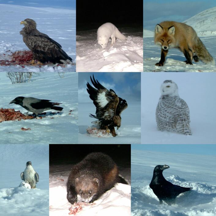 Hvem spiser død rein? Forskerne la ut åter, og her ser du hvem som kom. Fra øvre venstre til nedre høyre: havørn, fjellrev, rødrev, kråke, kongeørn, snøugle, jaktfalk, jerv og ravn. Alle bildene er tatt av automatiske fotobokser. (Foto: Universitetet i Tromsø)