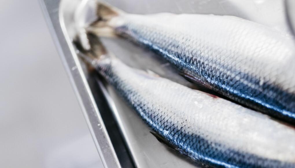 Sildeolje inneholder mye ketolinsyre, som fungerer som en omega-3-katalysator. (Foto: Tommy Ellingsen/Nofima).