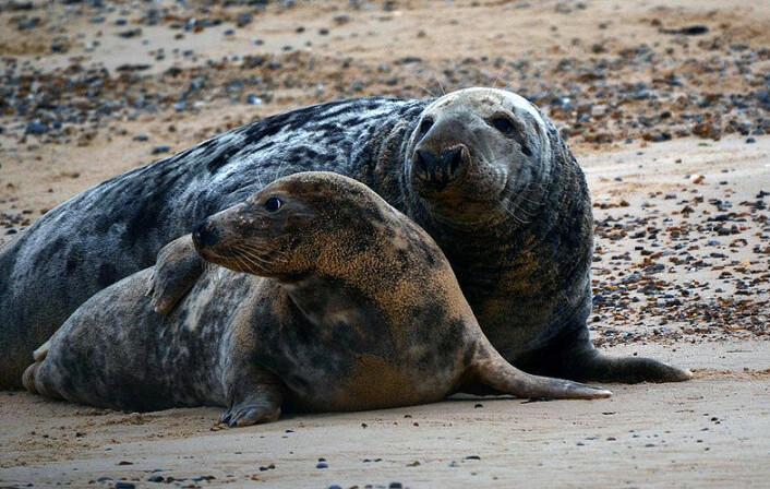 Med sine 3 meter og godt over 300 kg fremstår hannen nærmest som et monster sammenlignet hunnen som «bare» blir opp til 200 kg. (Foto: CC/Clinton og Charles Robertson)