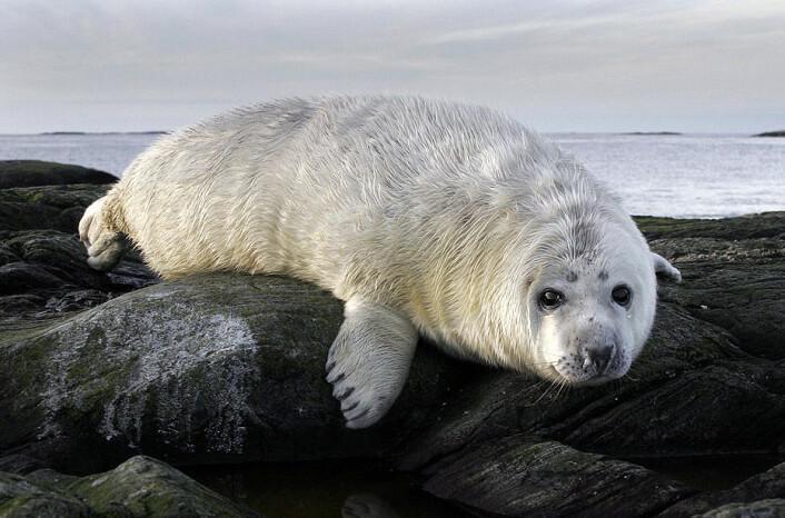 Havertungene dier moren i 15-17 dager, og legger i denne perioden på seg opp til 2 kg om dagen. Når de er født veier de 18 kg (bildet på toppen av siden) - to uker senere 50-60 kg. (Foto: CC/Per Harald Olsen)