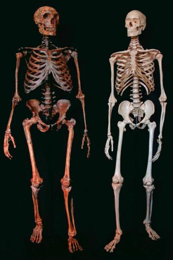 Neandertalerskjelett til venstre, moderne menneske til høyre. (Foto: Reuters, NTB Scanpix)