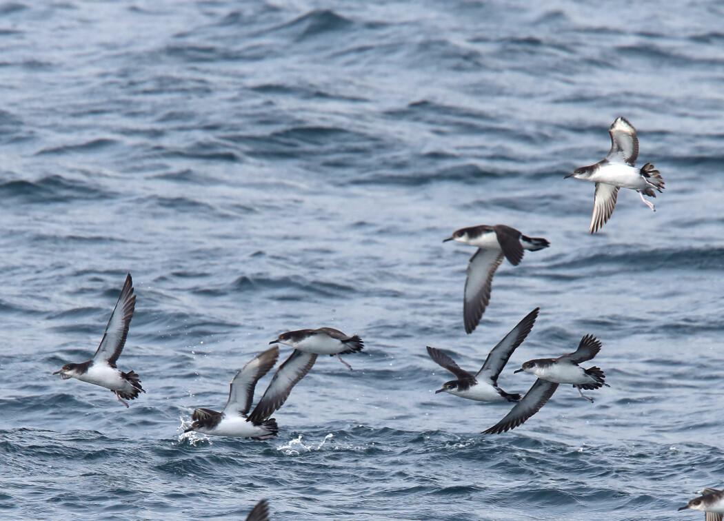 Havlirer tilbringer store deler av året til sjøs, hvor de jakter og lever. De kommer bare tilbake til land for å hekke. (Foto: Tony Mills / Shutterstock / NTB scanpix)
