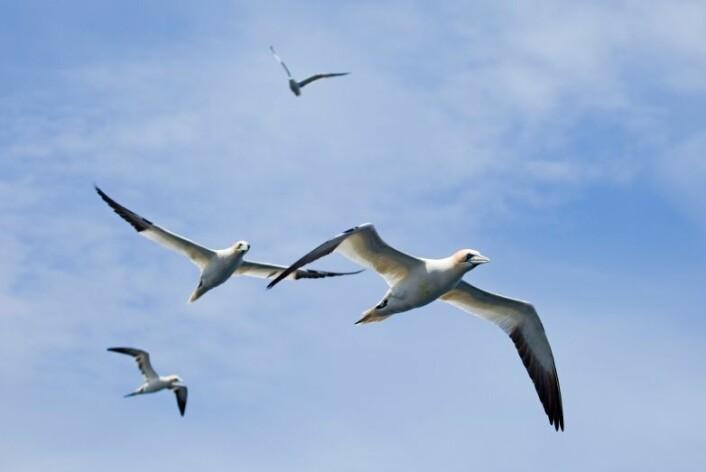 Sjøfugl, som denne havsulen, er et problem på mange oljeplattformer. (Foto: iStockphoto)