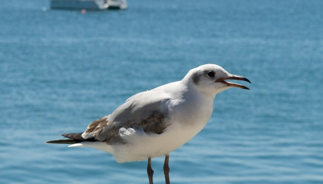 Hvordan skremmer vi bort fuglene?