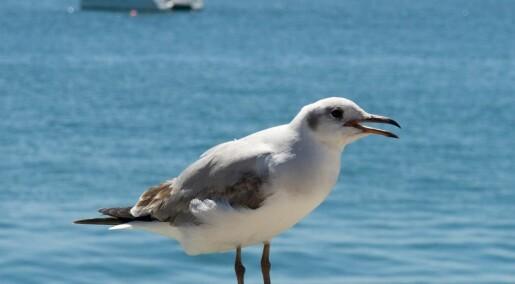 Spør en forsker: Hvordan skremmer vi bort fuglene?