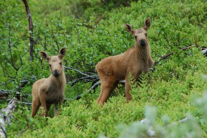 Forskere kartlegger genene til elgen på Vega i Nordland. Her er to tvillinger fotografert i Nord-Trøndelag. (Foto: Christer Moe Rolandsen)
