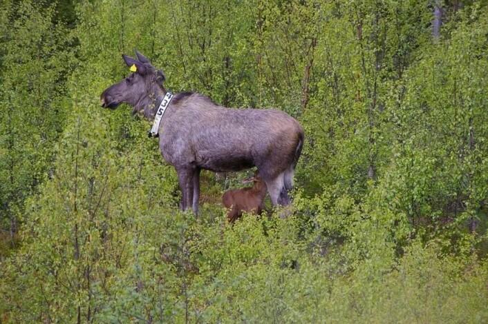 Forskerne har nesten hele slektstavlen til elgene på Vega. Her er ei elgku med kalv fotografert i Nord-Trøndelag. (Foto: Ronald Haarberg)