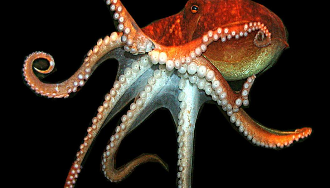 Eledone-blekkspruten finnes i danske farvann. Den er ikke mye større enn en knyttneve. (Foto: Øresundsakvariet)