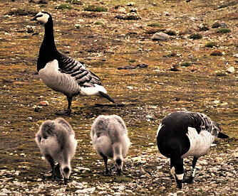 Goslings and geese feeding outside of Ny-Ålesund on Svalbard. The ID band that researchers use to identify individual geese is clearly visible on the goose to the right in the picture.(Photo: Kate Layton-Matthews/NTNU)