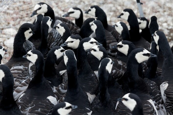 Svalbard barnacle geese awaiting being weighed and banded, if they haven't gotten an ID band yet. (Photo: Ronald Cornelisse.)