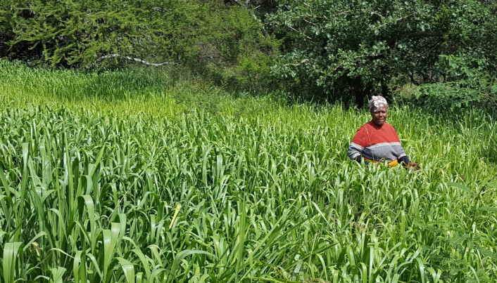 En anbefaling fra InnovAfrica-prosjektet er å styrke kvinnelige småbrukere på individnivå. Den kenyanske kvinnen på dette bildet, Ruth, opplever stor suksess med produksjon av bracharia gras. (Foto: Marte Lund Edvartsen)