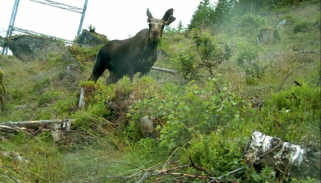 Forskere har undersøkt om områdene rundt kraftlinjene i Norge kan gjøre nytten som matfat for skogens konge.  (Foto: NINA)