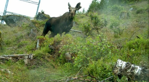 Elgen trives langs kraftlinjene