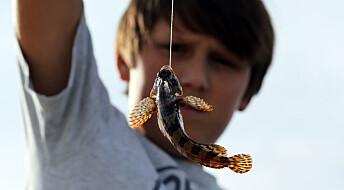Forskere uenige om fisk opplever smerte