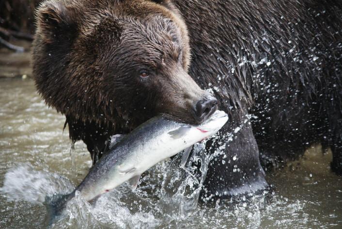 Smerte er mer enn fysisk, konkret smerte. Samspillet mellom dyret og virkeligheten rundt er også viktig for dyrevelferden, mente både en filosof og en snurpenotfisker på Dyreetikkonferansen. (Foto: (Illustrasjon: www.colourbox.no))