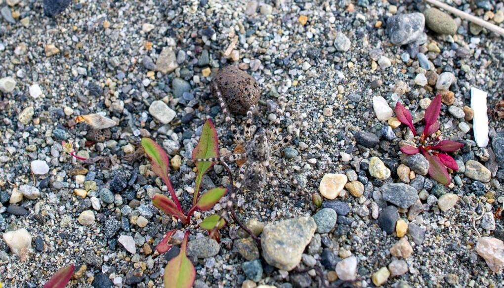 Stor elvebreddedderkopp er en mester i å kamuflere seg i sand og grus. Du må se godt etter for å oppdage den. (Foto: Arnstein Staverløkk / NINA)