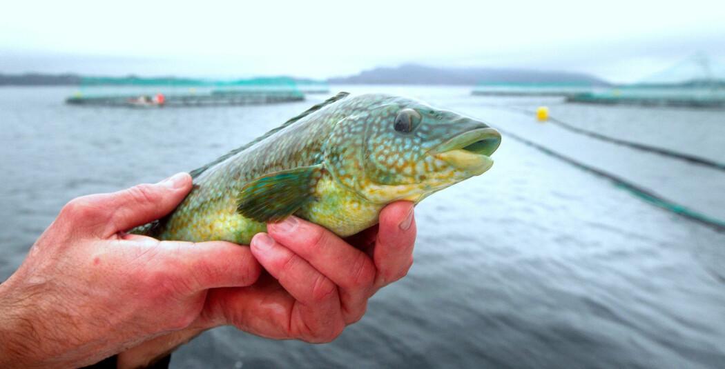 Leppefisk, som denne ved et anlegg sør for Bergen, spiser lus på oppdrettsfisk og blir derfor brukt som rensefisk i oppdrett. Fisket av leppefisk langs kysten dekker ikke behovet. Nå blir stadig mer rensefisk importert fra andre land. (Foto: Heiko Junge / Scanpix)