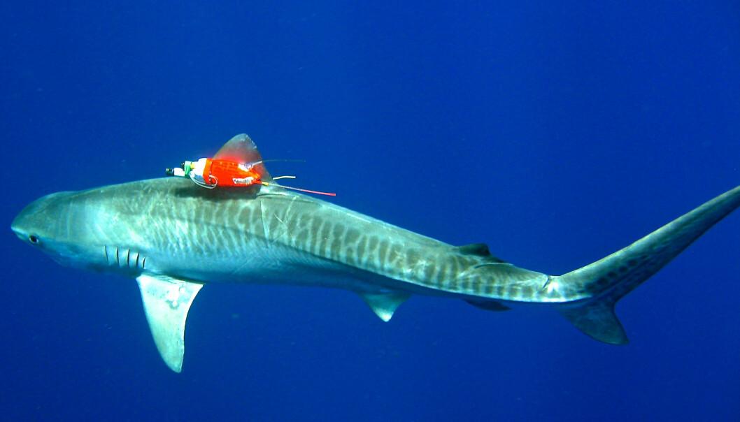 En av haiene fra forskningsprosjektet svømmer gjennom havet med en kombinert sensor og videoopptager.  (Foto: Mark Royer/University of Hawaii)