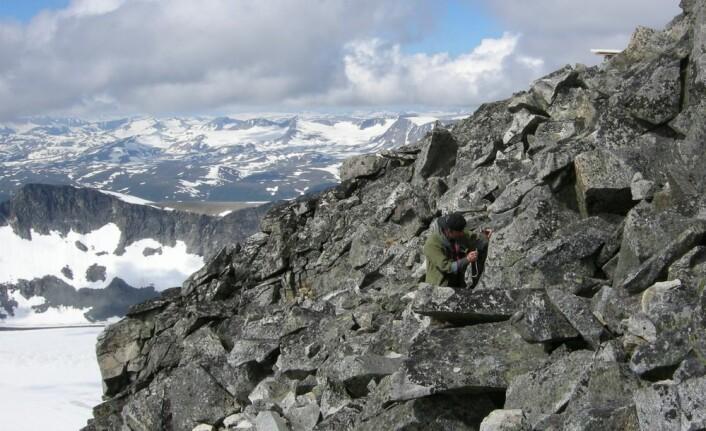 Reidar Haugan er her på feltarbeid bare noen meter under toppen av Galdhøpiggen. Han må bruke hammer og meisel for å hakke løs steinbiter med laven. Legg merke til Topphytta som så vidt kan skimtes øverst til høyre i bildet.  (Foto: Privat)