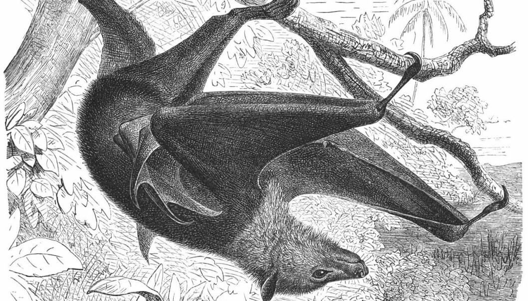 Flygehunder kan ha et vingespenn på 1,5 meter og lever av frukt. De er trolig et reservoar for Ebola-smitte, uten selv å bli syke.  Tegning av Gustav Mützel i Brehms Tierleben , 1927/Wikimedia Commons