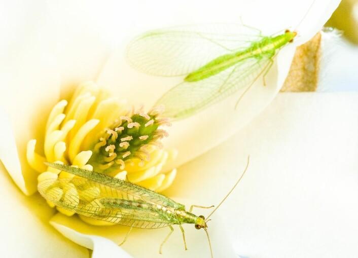 To gulløyer på én blomst. (Foto: Erling Fløistad)