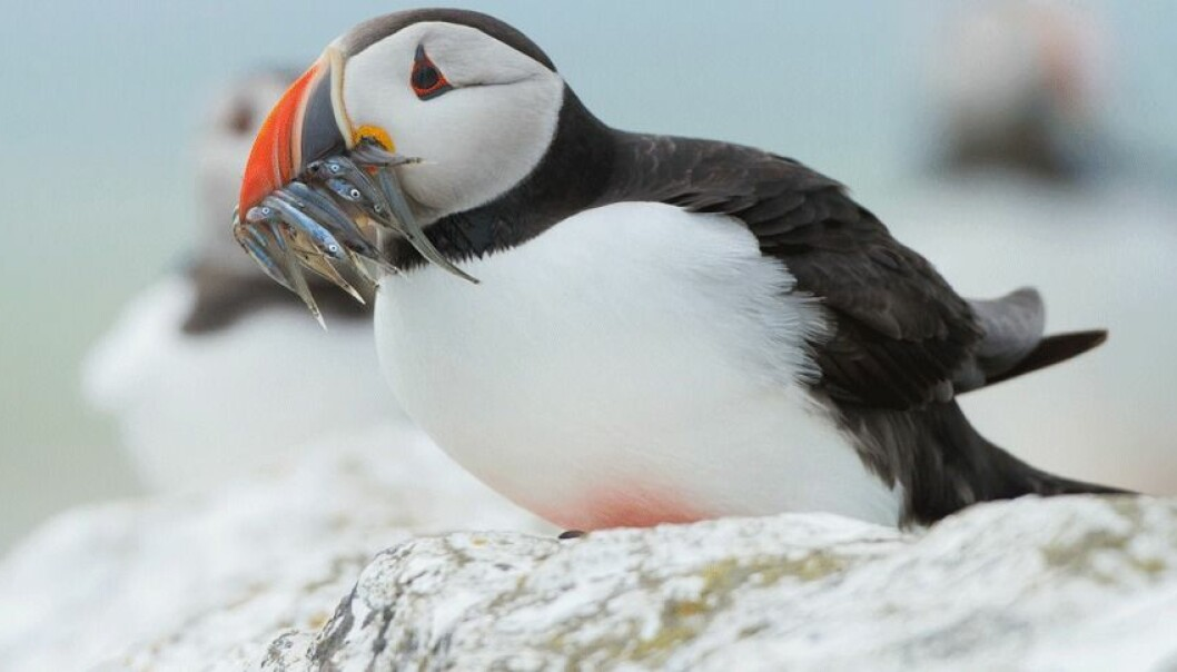 – Årsakssammenhengene er vanskelige å kartlegge. Noen vil si at temperaturendringer i havet er den viktigste årsaken til at sjøfugl forsvinner, andre at det bare er én av mange, sier biolog Dag O. Hessen. (Foto: Microstock)