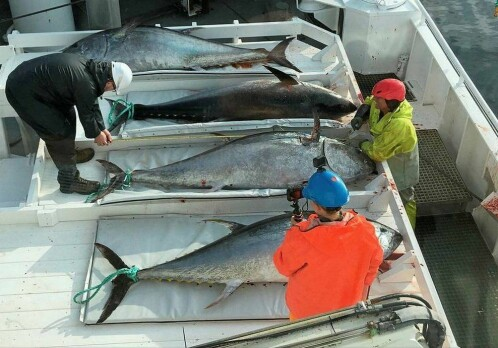 Scientists uncover the ''home'' of bluefin tuna in the North Atlantic