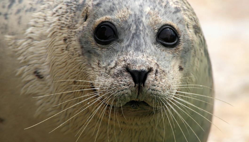 Seler og sjøløver kan ha brakt tuberkulose til Amerika