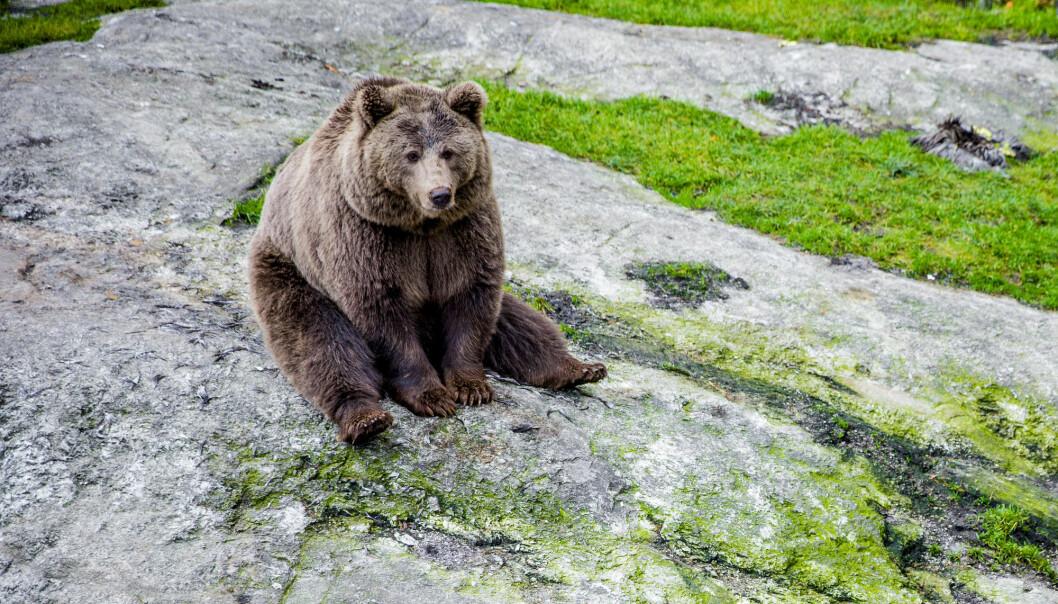 En brunbjørn fotografert i Bjørneparken i Flå. (Illustrasjonsfoto: Stian Lysberg Solum, NTB scanpix)