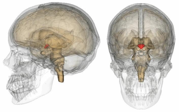 Hypothalamus er merket med rødt.  (Foto: (Figur: BodyParts3D, © The Database Center for Life Science, Wikimedia Commons))
