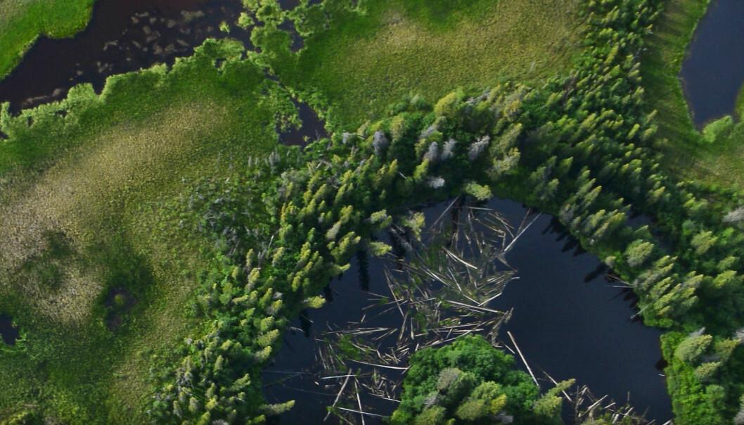Ved hjelp av billedbehandlingssystemet G-LiHT har forskere fra NASA kunnet ta dette detaljerte bildet av et «gjemt» skoglandskap i Alaska.  (Foto: NASA Earth Observatory)