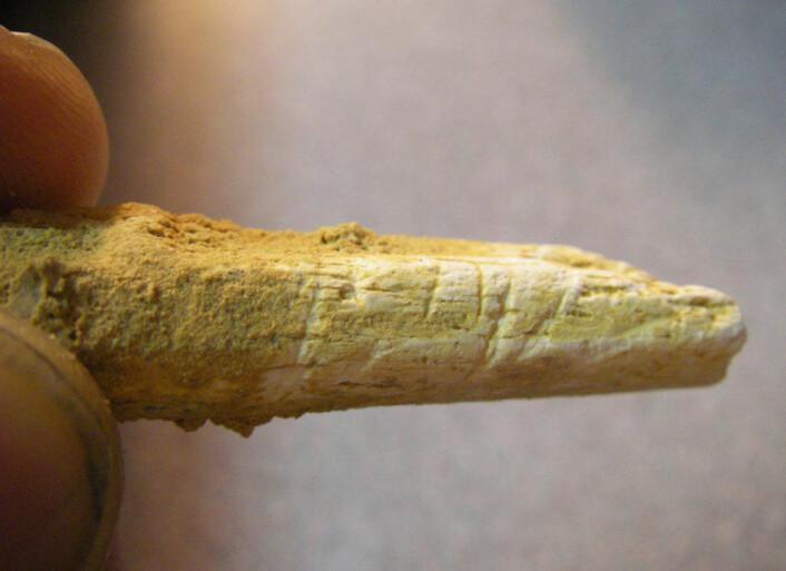 Knivmerker på neandertalerbein fra El sidron. (Foto: Thomas Higham)