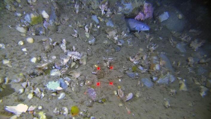 Svampskog øverst i skråningen i sydlig del av undersøkelsesområdet. I bildet ser vi mange svamparter, en brosme og bløtkorallen Gersemia. Brosme trives godt på bunn hvor den kan finne huler å gjemme seg i. Slike huler finner den på korallrev, eller som her i en steinhaug. (Foto: MAREANO/Havforskningsinstituttet)