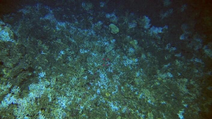 Knuste koraller i nærheten av et tapt garn. Når garnene setter seg fast kan de knuse korallene når fiskerne forsøker å hale de inn. Det er kjent fra før at det er mye tapte garn på Storneset. Når disse dregges opp i forsøk på å hindre at de står på bunnen og fortsetter å fange fisk, skades korallene like mye. (Foto: MAREANO/Havforskningsinstituttet)