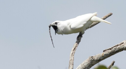 Denne fuglen skriker høyest i verden