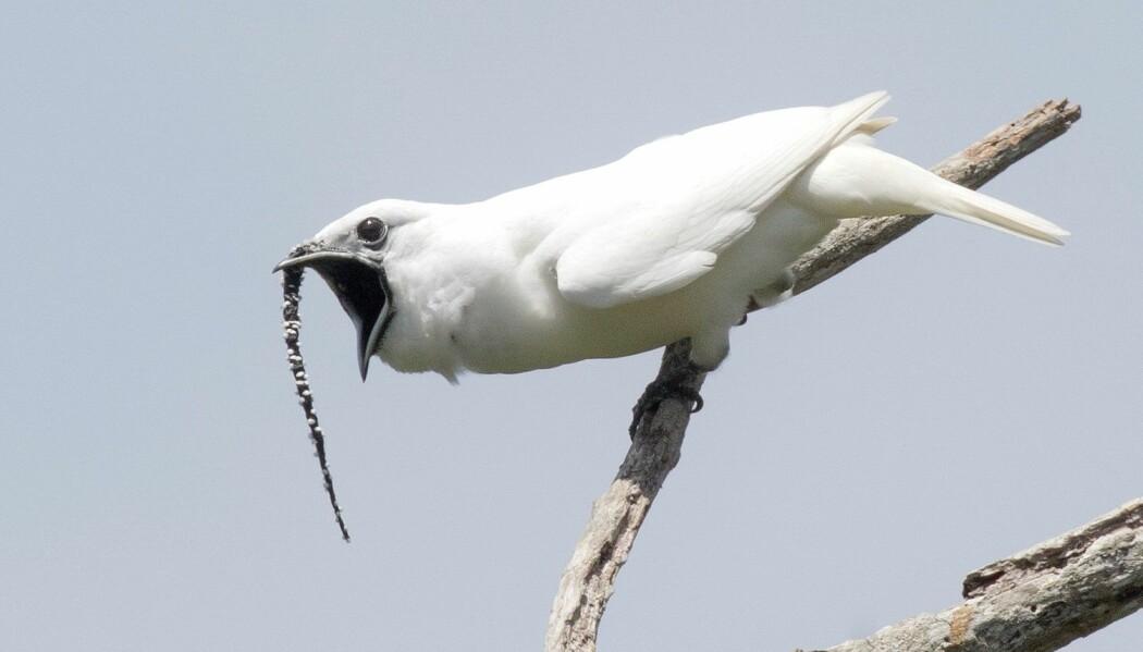 Er det noen bra damer hææææææææær? Den lille pendelklokkefuglen skriker like høyt som en tuba. (Foto: Anselmo d'Affonseca)