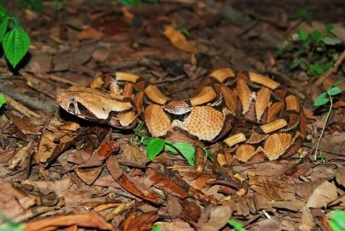Gabonhuggormen (<i>Bitis gabonica</i>) er ekstremt giftig og har hoggtenner som er fire centimeter lange. (Foto: Colin Tilbury)