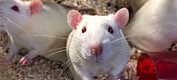 Kyllingprotein ga god helseeffekt på rotter